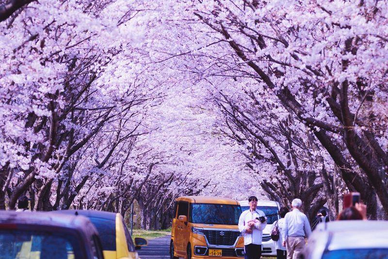 Cherry trees,