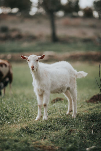 Farm Farm Life Goat Goats Livestock Animal Animal Themes Day Domestic Domestic Animals Field Goat Life Goats Life Grass Group Of Animals Herbivorous Land Livestock Mammal Nature No People Plant Standing