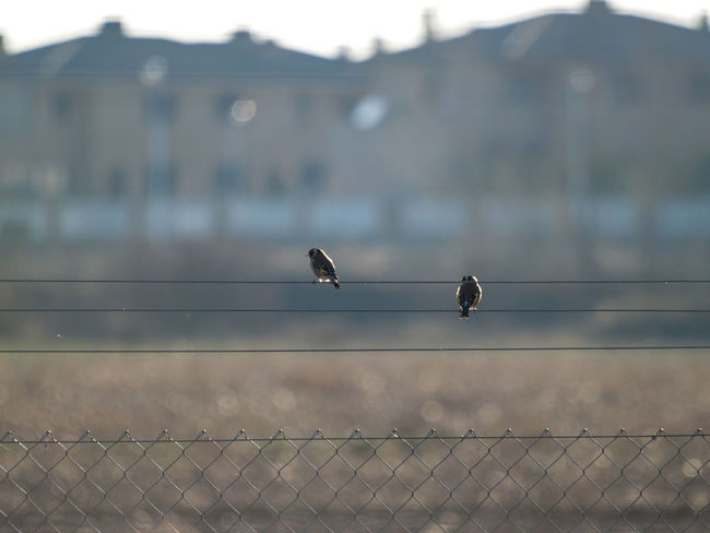 Animals In The Wild Barbed Wire Birds Of EyeEm  Birdwatching EyeEm Best Shots EyeEmNewHere Goldfinches Metallic Fence Nature Animal Themes Animal Wildlife Animals In The Wild Architecture Biodiversity Bird Building Exterior Built Structure Carduelis Carduelis Carduelis Day Environment Feather  Fence Focus On Foreground Goldfinch Metallic Nature No People One Animal Outdoors Perching Rural Scene Sky Spread Wings Wildlife
