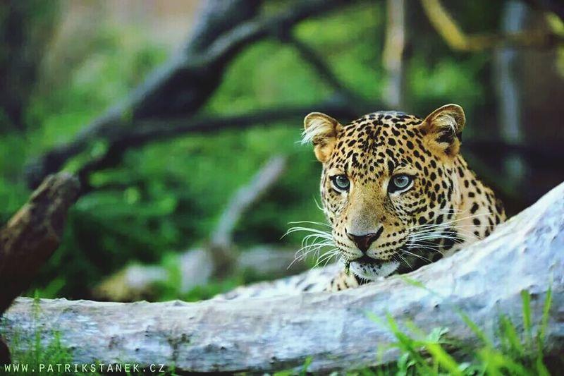 Animals Leopard