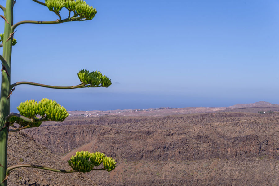 Raw Gran Canaria Landscape Agave Deserti Canarias Canary Islands Gran Canaria Gran Canary Island Gran Canaria Paradise Green Green Color Landscape_Collection Plant Plants SPAIN Agave Agave Flower Agave Plant Canary Canary ıslands Flower Landscape Landscape_photography Landscapes Mountainscape Nature Plant Spaın