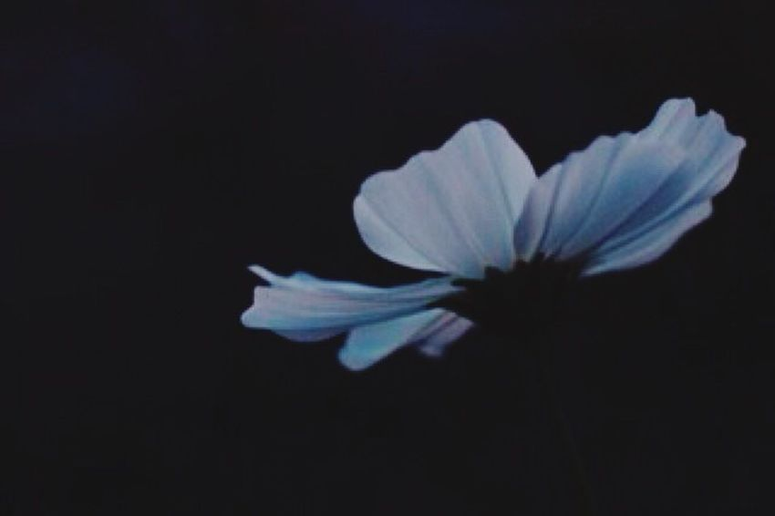 花 Flower コスモス 秋桜 ものおもい