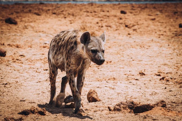 Hyena walking on land