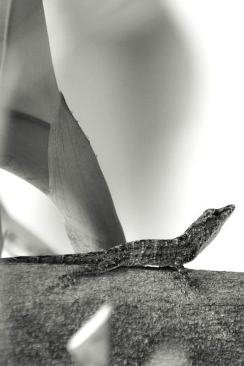Close-up Beauty In Nature Nature Lizard Lagartijo Black & White Black And White Photography Puerto Rico Caribbean Life Animals In The Wild Animal Themes Animal Wildlife Backyard Photography Backyard Garden Barred Anole Lagartijo Manchado Anolis Stratulus Reptile Taking Pictures