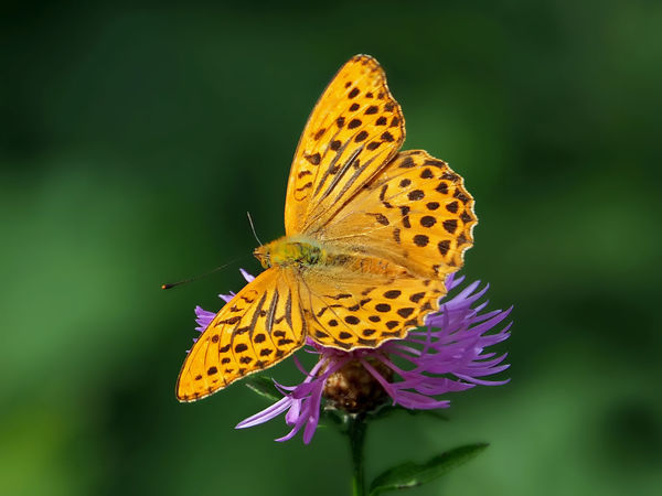 Argynnis Paphia Best Shots EyeEm Kaisermantel Plant Schmetterling Animal Themes Animal Wildlife Animals In The Wild Butterfly Butterfly - Insect Close-up Day Flower Flower Head Focus On Foreground Fragility Insect Leaf Macro Männchen Nature One Animal Outdoors Plant Spread Wings