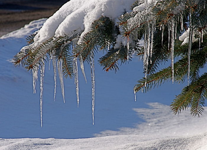 Icicles Focus On Foreground Outdoors Beauty In Nature Snow On A Pine Bush Snow Winter Cold Temperature Nature