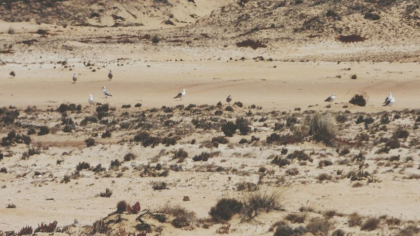 EyeEm Selects Sand Animals In The Wild Animal Themes Large Group Of Animals Desert Animal Wildlife Arid Climate Sand Dune Bird Outdoors Seagull On Sand Seagulls On The Ground Dunescape