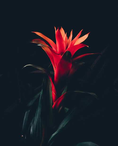 Beauty In Nature Beauty In Nature Bird Of Paradise - Plant Black Background Blooming Close-up Day Flower Flower Head Flowers Fragility Freshness Growth Leaf Nature No People Outdoors Petal Plant Red Roses Sprig EyeEm Selects
