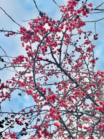 Spring time Germany Low Angle View Plant Tree Branch Sky Growth Beauty In Nature Nature Flower No People Freshness Blossom Pink Color Outdoors Springtime Red Day Flowering Plant