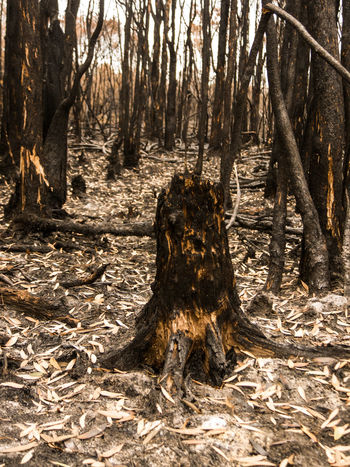 Burnt Bushfire Close-up Cultures Day Destruction Forest Fire Natural Disaster Nature No People Outdoors Root Stump Tree Tree Trunk