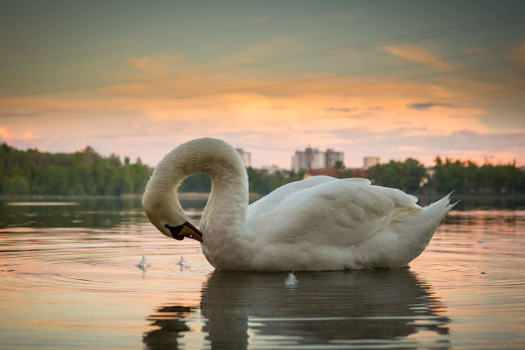 Swan Animal Themes Water Bird Animal Lake Animal Wildlife Sky Animals In The Wild Sunset One Animal Water Bird Reflection Nature Swimming Waterfront Beauty In Nature No People Animal Neck Floating On Water City