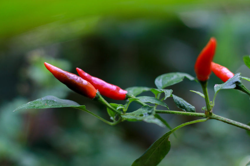 Chili Pepper Chili Peppers Chili Pepper Plant Red Hot Chili Peppers Red Hot Chili Red Growth Close-up Plant Plant Part Leaf Pepper Beauty In Nature Freshness Green Color Red Chili Pepper Flower Spice No People Nature Food And Drink Food Day Focus On Foreground Outdoors