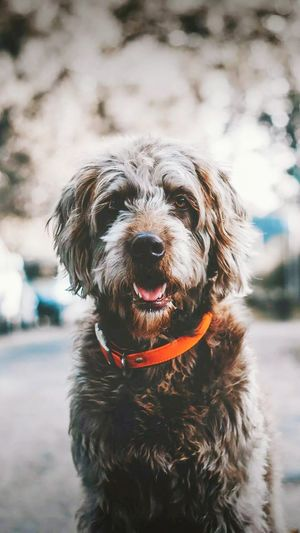 Dog Pets Animal Domestic Animals One Animal Portrait Outdoors No People Looking At Camera Ear Day Animal Themes Protruding Mammal