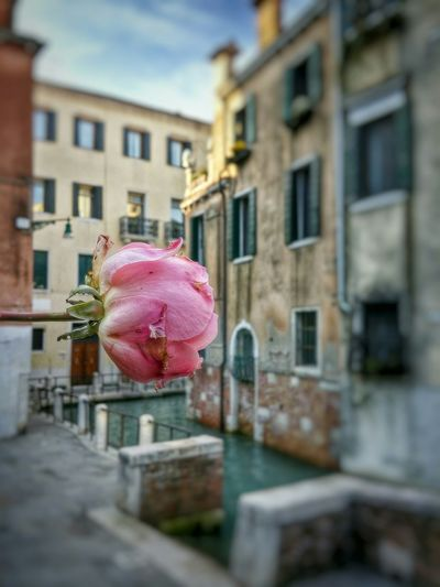 Early Morning Walks Venice, Italy Showcase: December Last Standing Rose Pink Close-up Blurred Background Historical Buildings Romantic Scenery