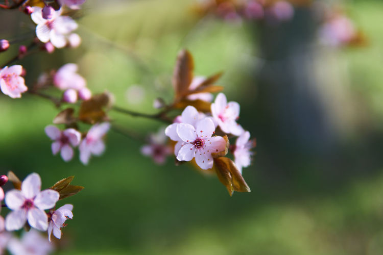 spring in colors Flower Blossom Beauty In Nature Nature Growth Fragility Close-up Springtime Spring Bokeh Spring In Colors Colors Millennial Pink Beauty Freshness Fine Art Photography EyeEm Gallery Shootermag Tranquility Branch Tree From My Point Of View Mood Focus On Foreground