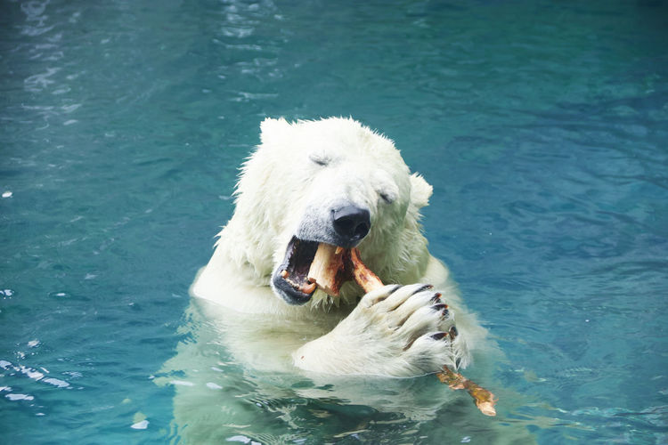 High angle view of polar bear biting stick in mouth