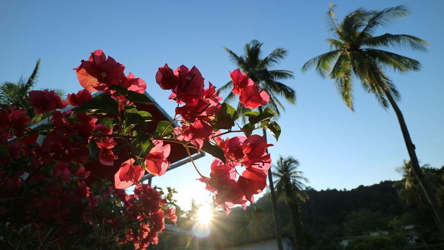ブーゲンビリア Flower Clear Sky Nature Sky Sunrise Live For The Story