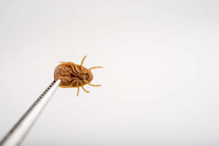 Copy Space Studio Shot Invertebrate One Animal Animal White Background Animal Themes Animals In The Wild Insect Close-up Animal Wildlife Indoors  No People Cut Out Arachnid Yellow Zoology Nature Animal Antenna Animal Body Part Ticket Punch Louse Blood