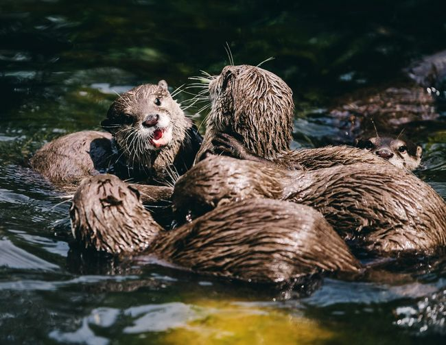 Family of otters at play in a river