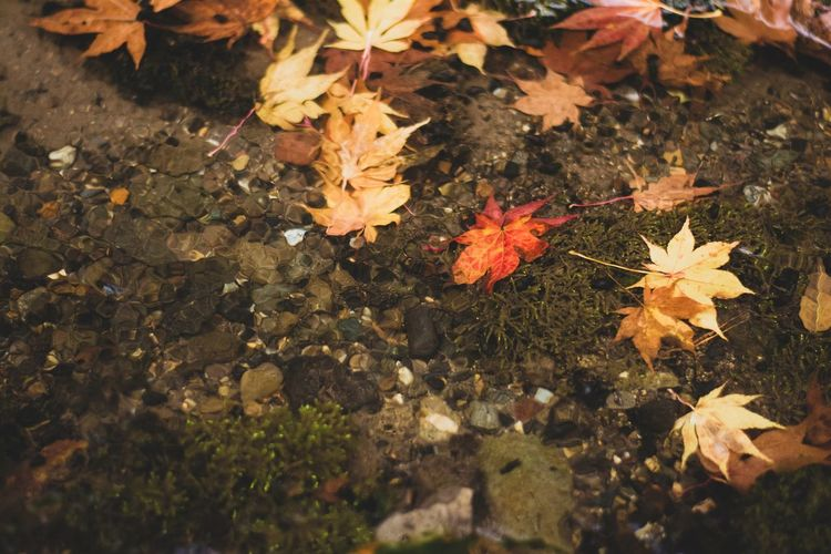 High angle view of maple leaves in water