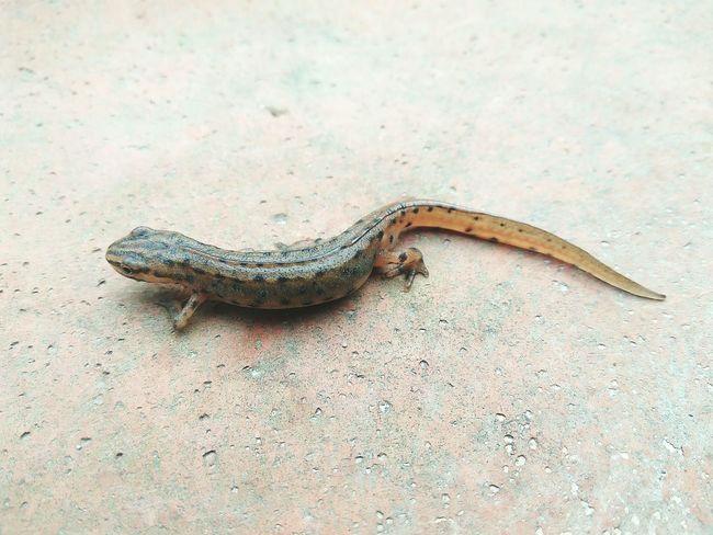 Animal Themes Nature Outdoors No People Salamanders Nature Photography