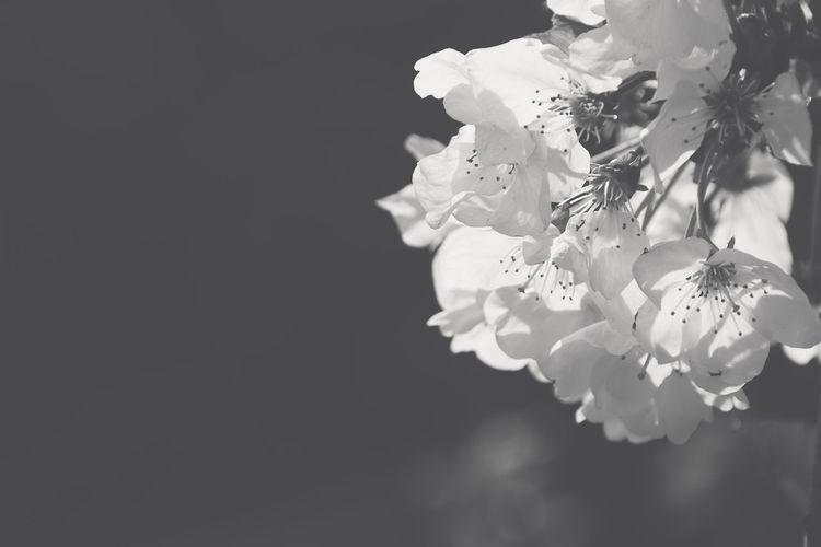 Close-up of cherry blossom