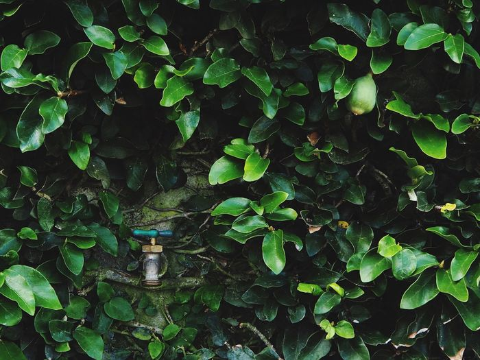 Faucet Amidst Plants Growing On Wall