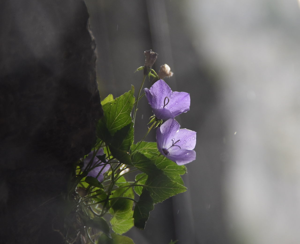 flower, fragility, beauty in nature, petal, nature, growth, freshness, purple, plant, day, flower head, close-up, leaf, outdoors, no people, blooming