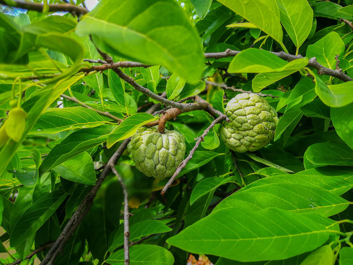 Leaf Green Color One Animal Nature Animals In The Wild Animal Themes No People Plant Growth Animal Wildlife Close-up Day Outdoors Tree Beauty In Nature Custard Apple Fruit Tree Wallpapers Healthy Eating กลิ่นอันหอมหวาน Backgrounds ผลไม้ไทย Food And Drink Green Color