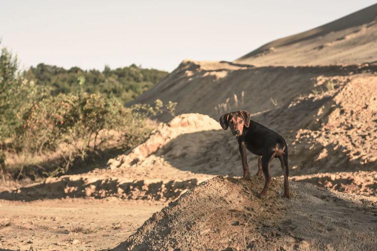 All dogs go to heaven,  desert dog