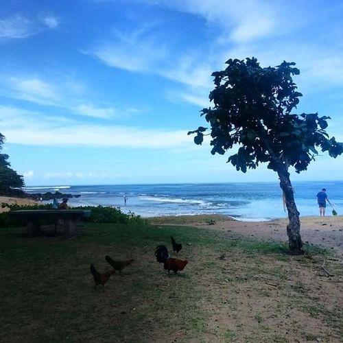 Tree Sea Sky Cloud - Sky Water Beach Bird Animal Themes Outdoors No People Nature Day Mammal Chickens Wildlife Kauai Chickens Kauai Hawaii Kauai Life