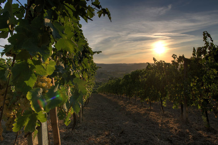 Agricolture Bertinoro Contryside Country Hills Italy Nature San Giovese Sky Sunrise Sunset Vineyard