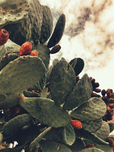 Spaın Cactus Succulent Plant Plant Growth Nature No People Day Prickly Pear Cactus Cloud - Sky Close-up Beauty In Nature Fruit Green Color Sky Outdoors Freshness Tranquility