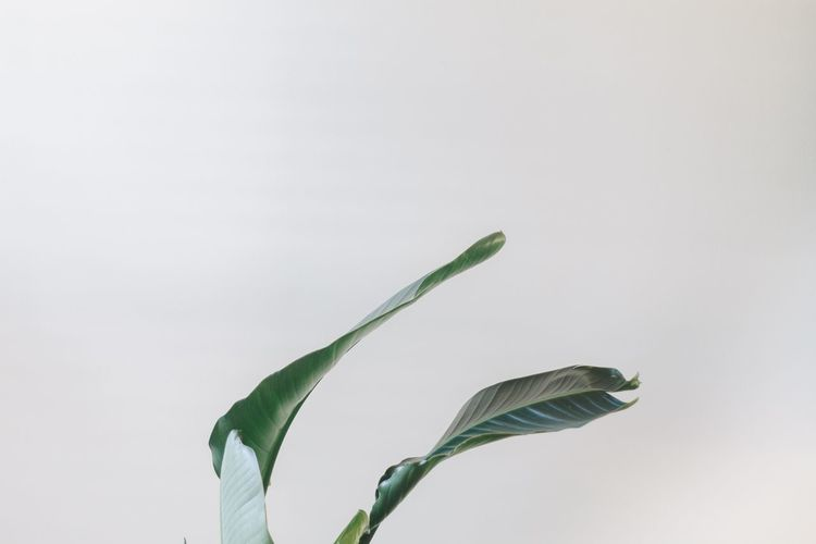 Bird of Paradise leaves against a white wall. Bird Of Paradise Calm Minimalist Plant Life Beauty In Nature Bird Of Paradise Plant Calm Photography Green Color Growth Home Decor Houseplant Houseplants Leaf Minimal Home Minimalism Minimalist Home Modern Home Nature No People Plant Studio Shot White Background White Wall White Walls