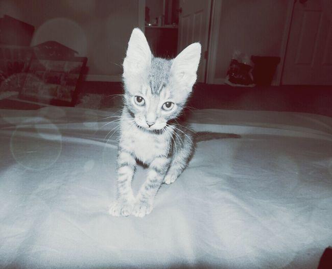 Kitty Cat Pet Parent Pelè Baby Cutie