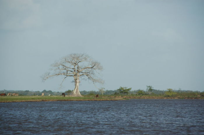 Abary River Tree Fresh Water Animals Grazing Cattle Barren Tree Landscape Fineartphotograhy