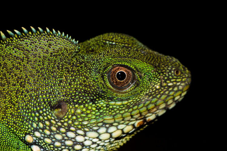 Close-up of lizard over black background