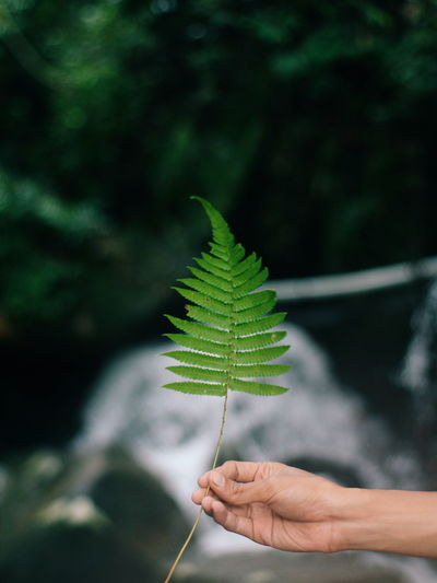 Close-up of hand holding fern leaves