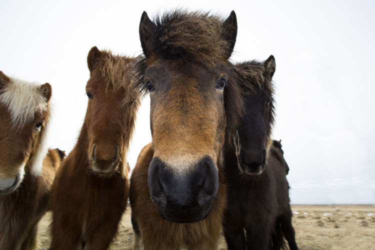 Animal Themes Close-up Day Domestic Animals Herd Of Horses Iceland Iceland Memories Iceland Trip Iceland_collection Icelandic Horse Livestock Looking At Camera Mammal No People Outdoors Portrait Sky Standing Three Animals