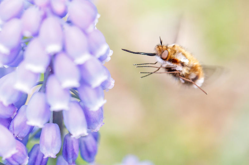 Close-up of insect buzzing by bluebells