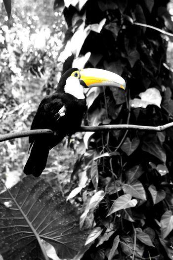 Bresil  Brasil Birds Toucan Amazon Amazonas-Brasil Amazonia Amazone Black And White Pet Portraits