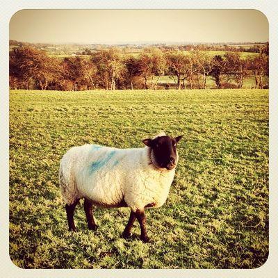 Greetings from Ireland ? Part 2 ? #beautiful_ireland #jj_forum #ireland #jj #earlybirdlove #hill_of_tara #meath #sheep ?? Sheep Ireland Jj  Earlybirdlove Jj_forum Hill_of_tara Meath Beautiful_ireland