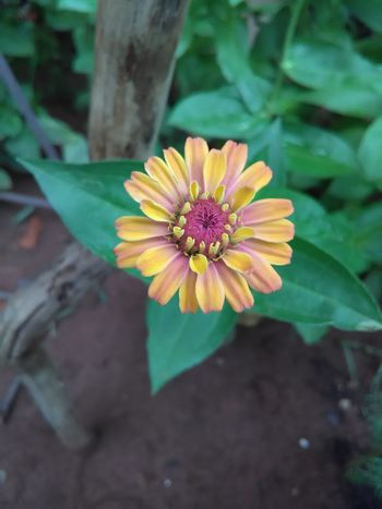 Flower Fragility Petal Nature Beauty In Nature Freshness Flower Head Leaf Pollen Blooming Plant Growth Outdoors Close-up No People Zinnia  Day Flowerlovers Cute Flower Flowers In My Garden Flowers,Plants & Garden Multi Color Flowers Flower Collection Zinnia  Pink Color
