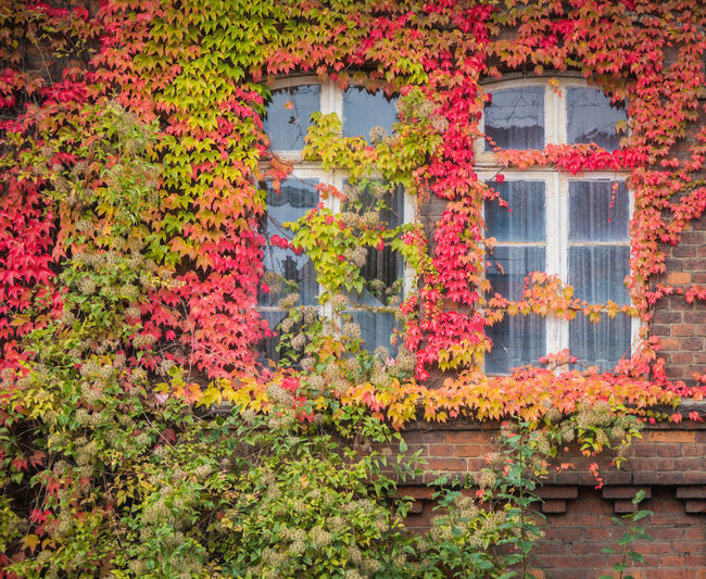 Red ivy on house with white window Plant Flower Flowering Plant Architecture Built Structure Nature Building Exterior Multi Colored Freshness No People Growth Window Building Day Water House Beauty In Nature Outdoors Ivy Bush Ornamental Garden Flowerbed