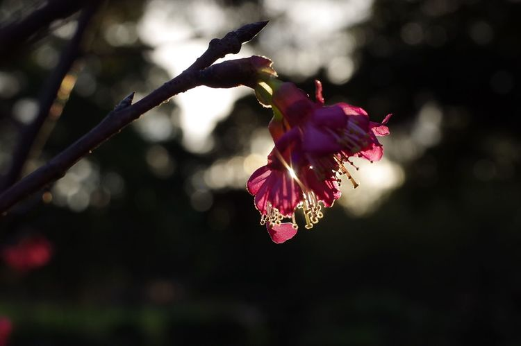 Flower Fragility Petal Growth Nature Beauty In Nature Outdoors Focus On Foreground No People Sakura Flower Head Blossom Freshness Day Close-up Plant Tree Branch Blooming 櫻花