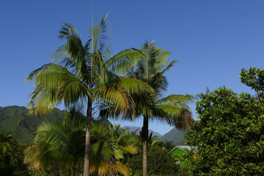 Beauty In Nature Blue Clear Sky Day Green Color Growth Low Angle View Nature No People Outdoors Palm Tree Scenics Sky Tranquil Scene Tranquility Tree Tree Trunk