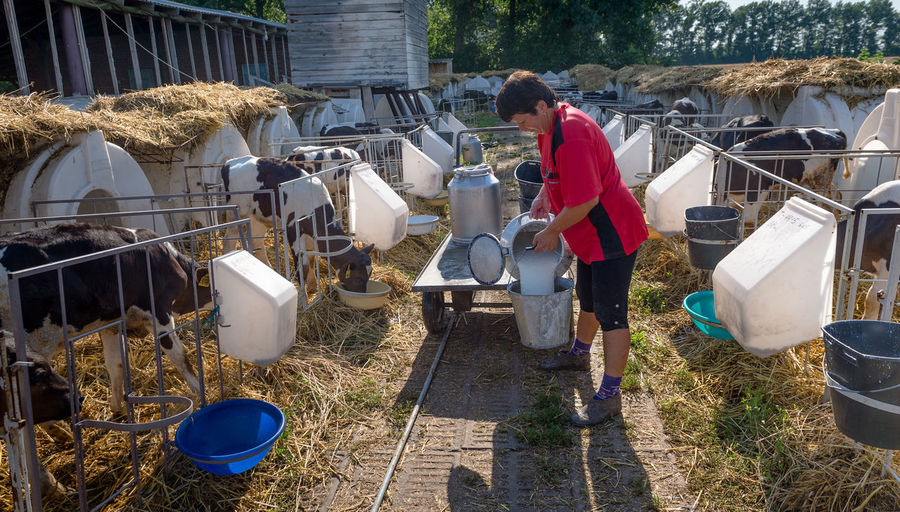 Man Pouring Milk From Bucket By Hutch At Dairy Farm