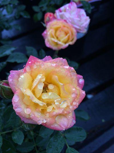 Flower Raindrops Raindropsonflowers Pretty♡