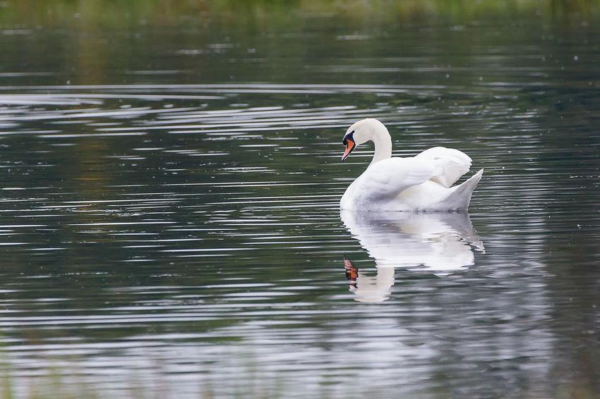 Mirrored swan at the Cloerather Mühle, Viersen EyeEm Nature Lover EyeEmNewHere Swan Lake Swans Animal Themes Animal Wildlife Animals In The Wild Beauty In Nature Bird Lake Nature One Animal Reflection Swan Swans On The Lake Swimming Water EyeEmNewHere