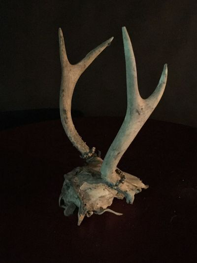 Animal Bone Animal Skull Animal Themes Antler Close-up Day Indoors  No People Studio Shot Taxidermy